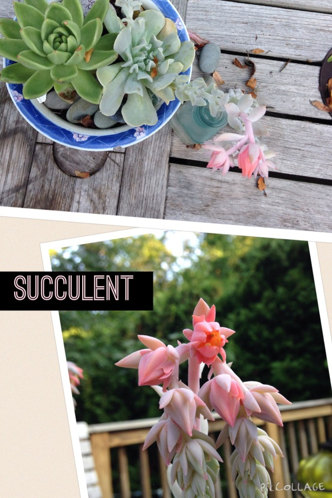 succulent in bloom